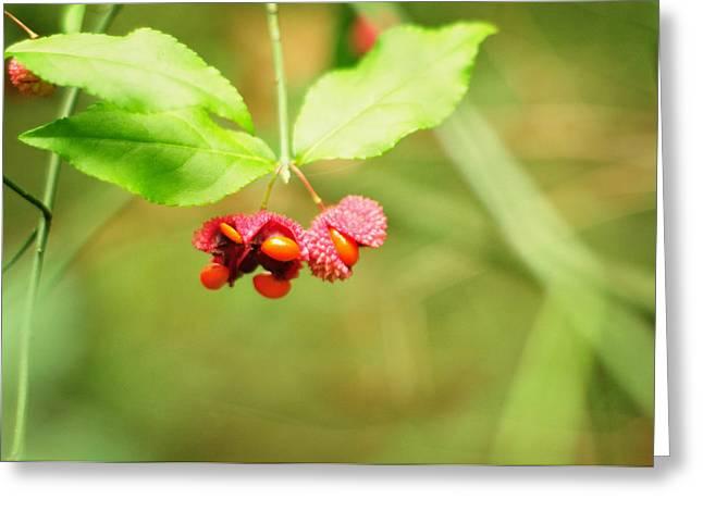Capsule Greeting Cards - Euonymus americanus  American Strawberry Bush Greeting Card by Rebecca Sherman