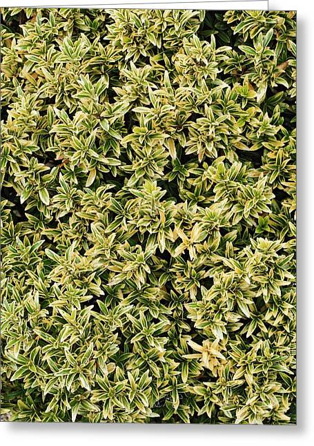 Euonymus 'microphyllus Aureovariegatus' Greeting Card by Geoff Kidd
