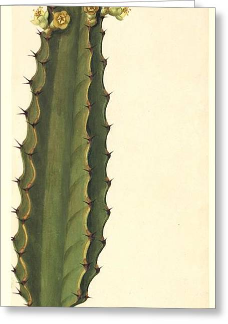 Euphorbia Greeting Cards - Euphorbia, 19th-century artwork Greeting Card by Science Photo Library