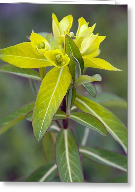 Euphorbia Greeting Cards - Euphorbia cornigera Goldener Turm Greeting Card by Science Photo Library