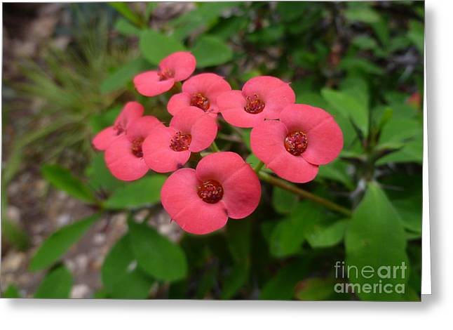 Euphorbiaceae Greeting Cards - Euphorbia milli - Crown of Thorns Greeting Card by Lingfai Leung
