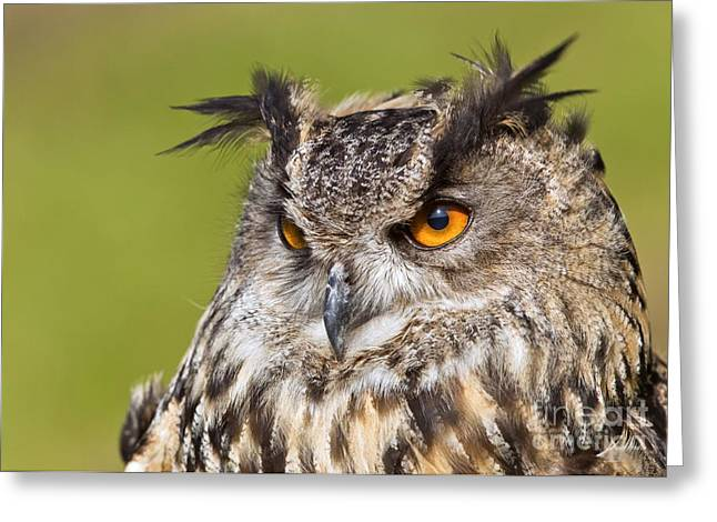 Tufted Ears Greeting Cards - Eurasian Eagle-owl Greeting Card by John Devries