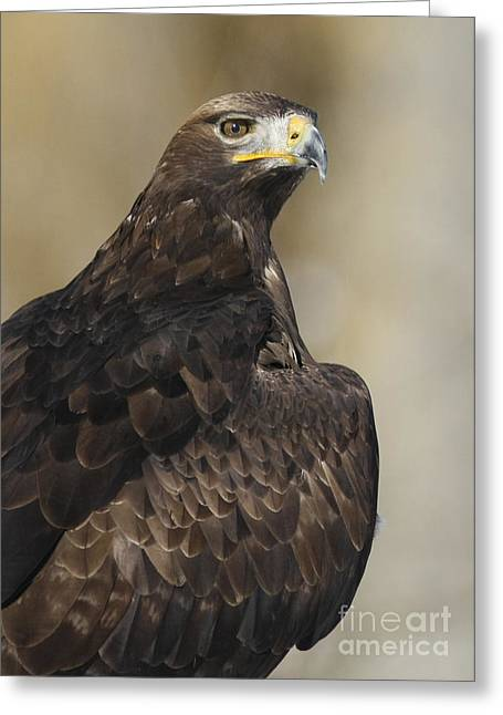Shelley Myke Greeting Cards - Eurasian Golden Eagle Preparing for Flight Greeting Card by Inspired Nature Photography By Shelley Myke