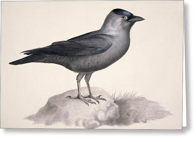 Jackdaws Greeting Cards - Eurasian jackdaw, 19th century Greeting Card by Science Photo Library