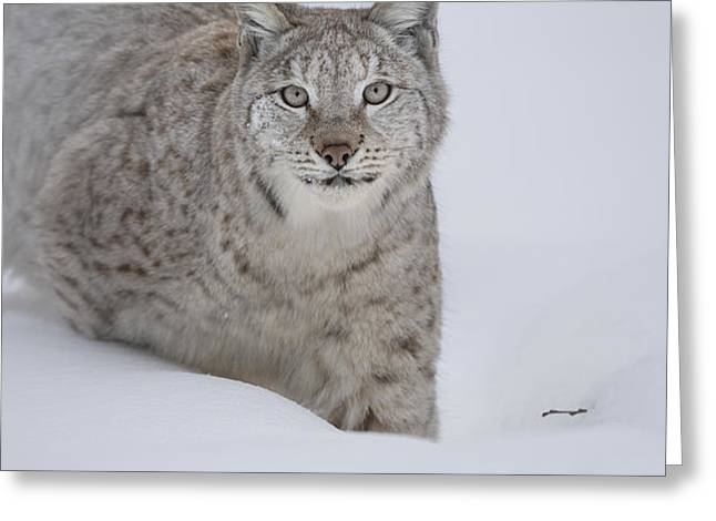 Eurasian Lynx Greeting Card by Andy Astbury