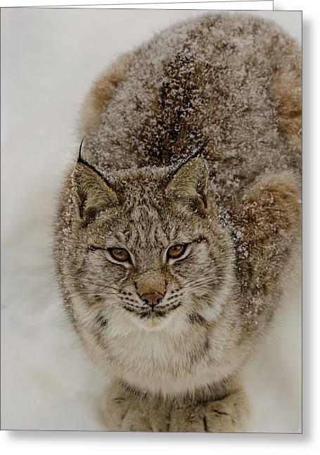 Vinter Greeting Cards - Eurasian Lynx Greeting Card by Kenneth Gjesdal