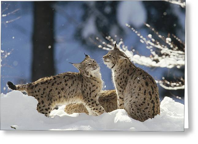 Lynx Sp Greeting Cards - Eurasian Lynx Pair Bayerischer Wald Np Greeting Card by Konrad Wothe