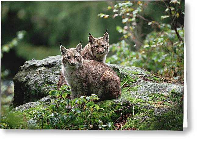 Lynx Sp Greeting Cards - Eurasian Lynx Pair Europe Greeting Card by Konrad Wothe
