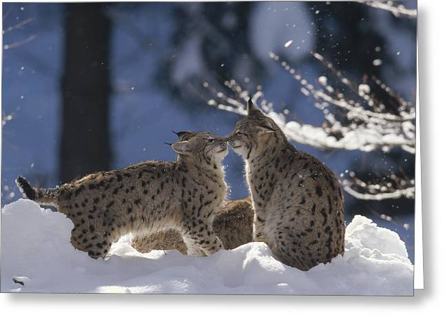 Lynx Sp Greeting Cards - Eurasian Lynx Pair Touching Noses Greeting Card by Konrad Wothe