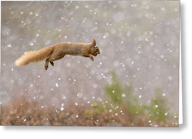 Acorn Greeting Cards - Eurasian Red Squirrel Leaping With Nut Greeting Card by Jules Cox