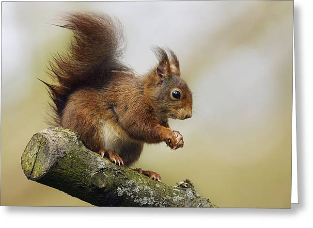 Eurasian Red Squirrel Netherlands Greeting Card by Marianne Brouwer
