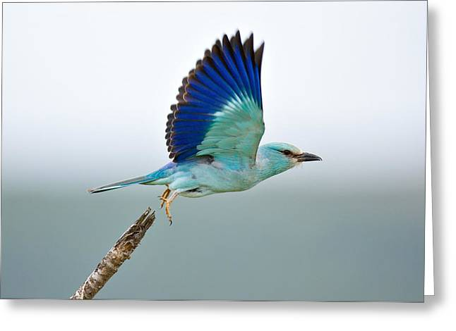 Eurasian Roller Greeting Card by Johan Swanepoel