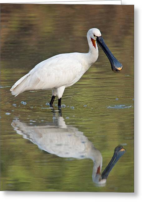 Zoology Greeting Cards - Eurasian Spoonbill Platalea Leucorodia Greeting Card by Panoramic Images
