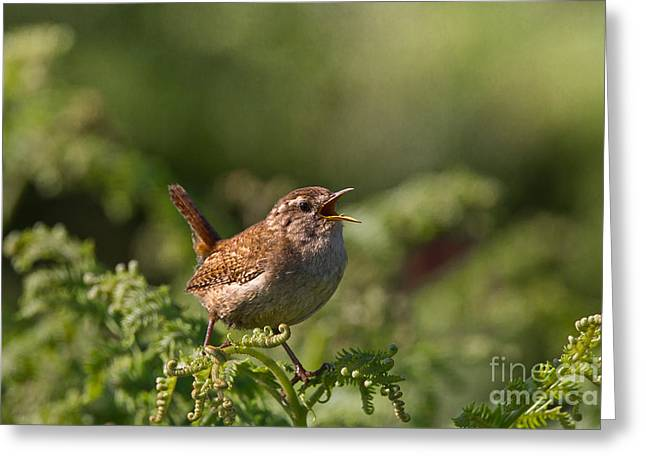 British Fauna Greeting Cards - Eurasian Wren Greeting Card by Thomas Hanahoe