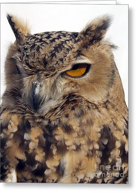 Eurasion Eagle Owl Greeting Card by Skip Willits
