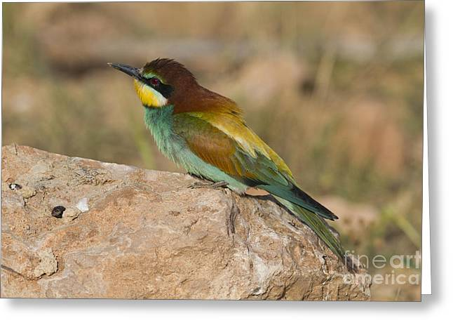 Pastimes Greeting Cards - European Bee-eater Merops apiaster Greeting Card by Eyal Bartov