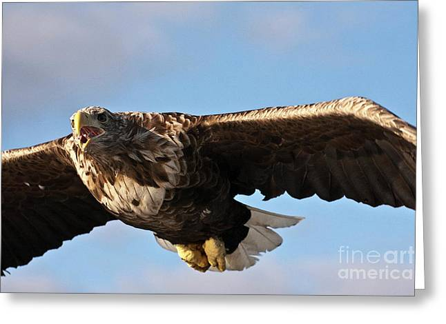 Faunal Greeting Cards - European Flying Sea Eagle 1 Greeting Card by Heiko Koehrer-Wagner