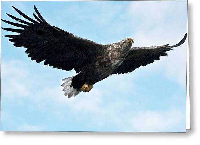 Faunal Greeting Cards - European Flying Sea Eagle 7 Greeting Card by Heiko Koehrer-Wagner