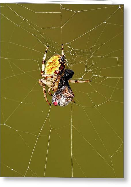 European Garden Spider And Prey Greeting Card by Heiti Paves