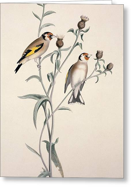 155 Greeting Cards - European goldfinch, 19th century Greeting Card by Science Photo Library