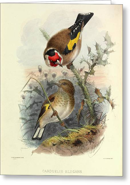 European Goldfinch Greeting Card by Natural History Museum, London