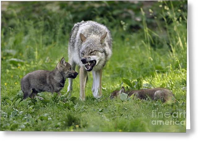 Growling Greeting Cards - European Gray Wolves, Canis Lupus Greeting Card by Duncan Usher