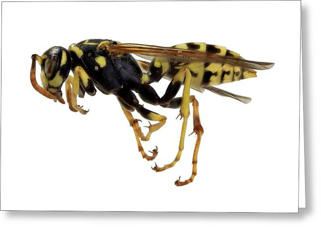 European Paper Wasp Greeting Card by F. Martinez Clavel