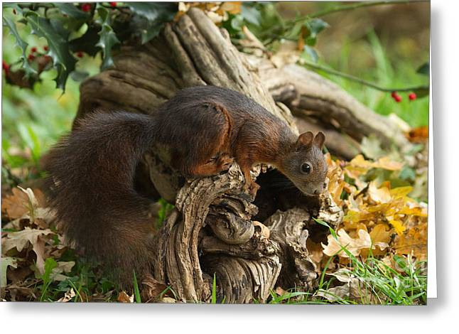 Tree Roots Greeting Cards - European Red Squirrel Greeting Card by Helmut Pieper