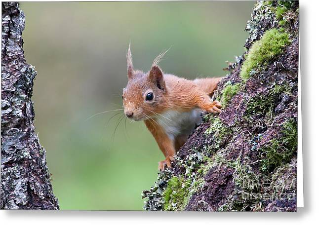 European Red Squirrel Greeting Card by Thomas Hanahoe
