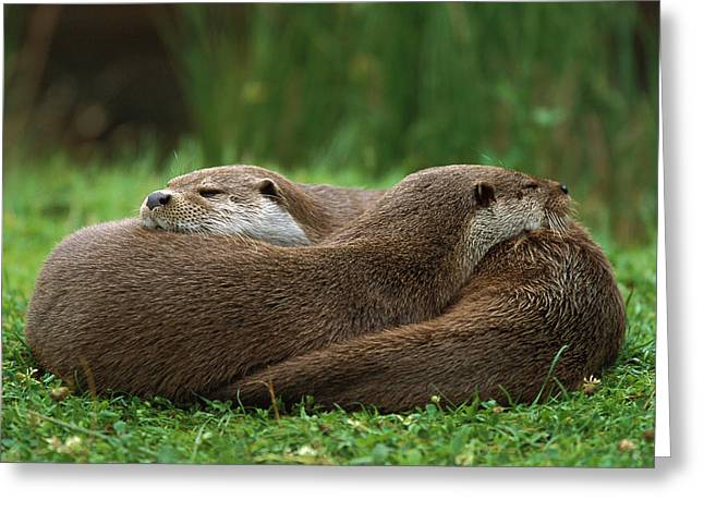 European River Otter Lutra Lutra Greeting Card by Ingo Arndt
