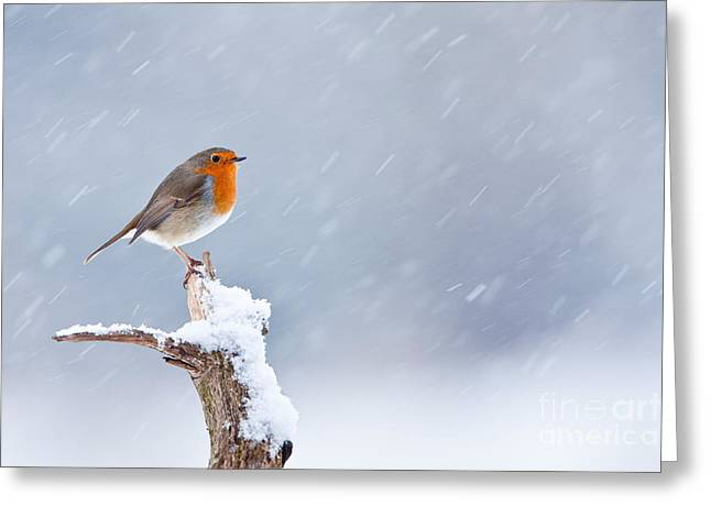 British Fauna Greeting Cards - European Robin In Winter Greeting Card by Thomas Hanahoe