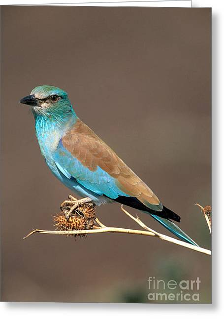 Winter Migrants Greeting Cards - European Roller Greeting Card by Art Wolfe