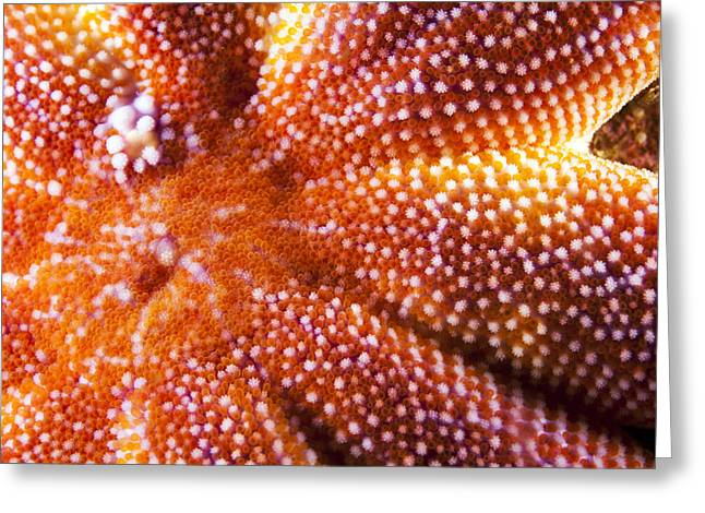 European Starfish Mouth Shetland Greeting Card by Matt Doggett