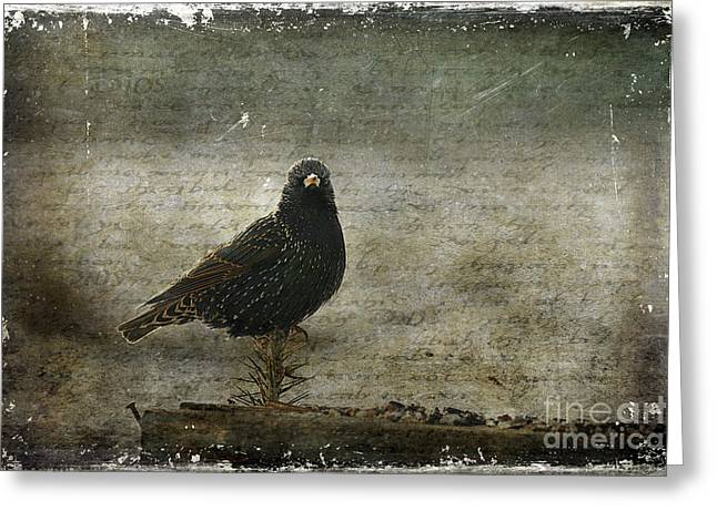 Vulgaris Greeting Cards - European Starling Greeting Card by Cindi Ressler