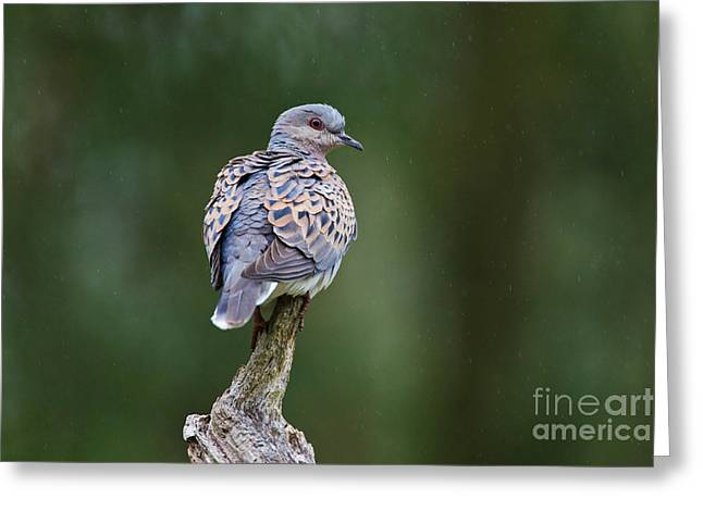 British Fauna Greeting Cards - European Turtle Dove Greeting Card by Thomas Hanahoe