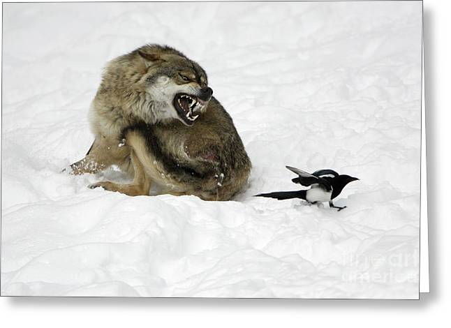 Magpies. Snow Greeting Cards - European Wolf And Magpie Greeting Card by Duncan Usher