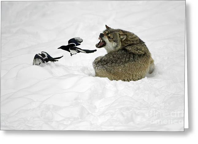 Magpies. Snow Greeting Cards - European Wolf With Magpies Greeting Card by Duncan Usher