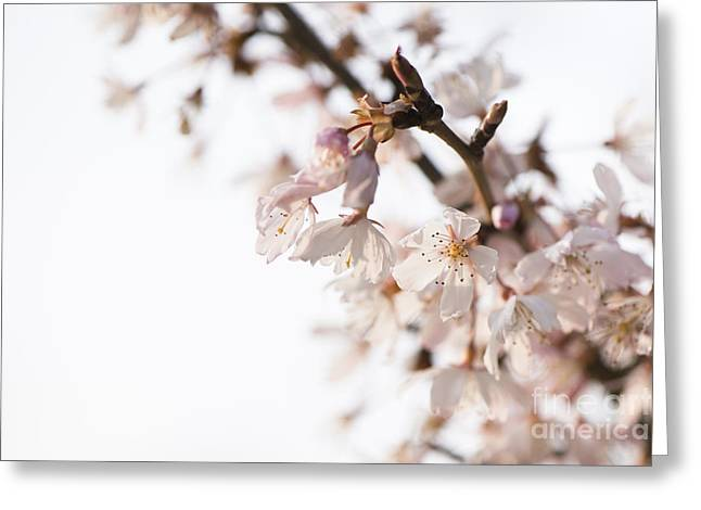 Close Focus Floral Greeting Cards - Evening Cherry Blossom Greeting Card by Anne Gilbert