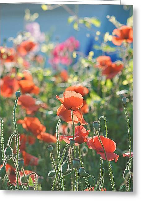Poppy Decorations Greeting Cards - Evening Lights the Poppies Greeting Card by Lisa Knechtel