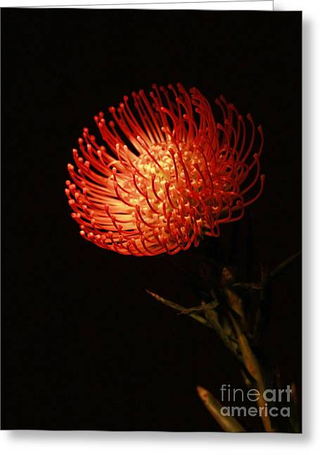 Orange Pin Cushion Greeting Cards - Evening of Passion Greeting Card by Inspired Nature Photography By Shelley Myke