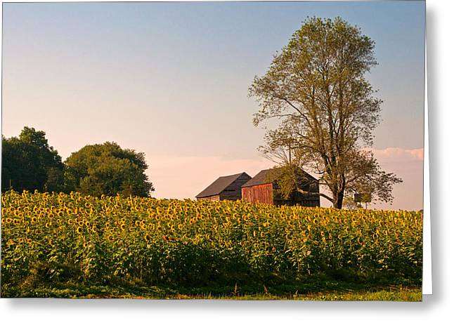 Buttonwood Farm Greeting Cards - Evening on the Sunflower Farm Greeting Card by Nancy  de Flon
