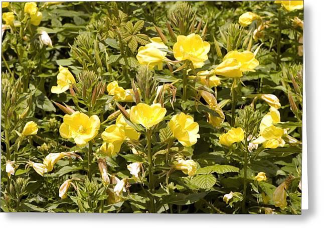 Evening Primrose Greeting Cards - Evening Primrose (Oenothera biennis) Greeting Card by Science Photo Library