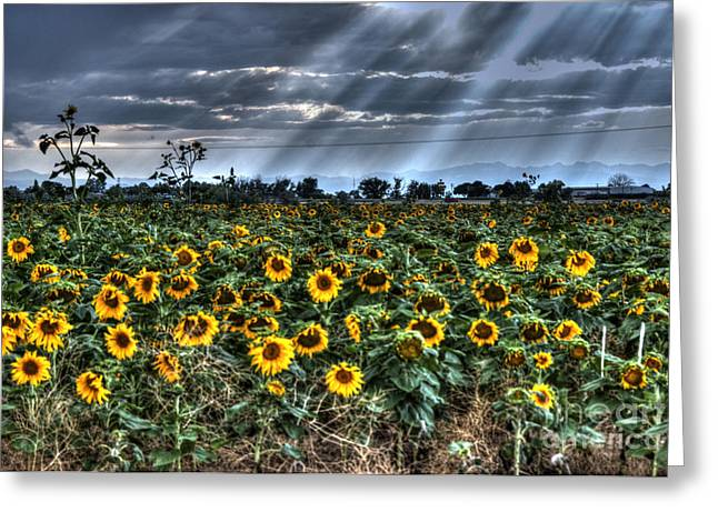 Annual Greeting Cards - Evening Sunbeams on Field of Sunflowers Greeting Card by Juli Scalzi