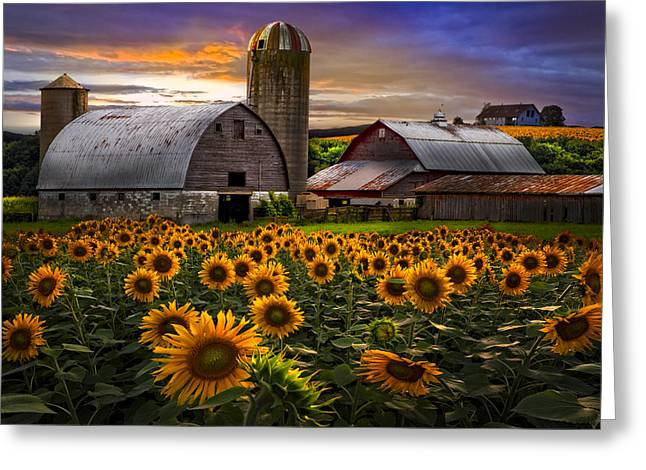 Dairy Barn Greeting Cards - Evening Sunflowers Greeting Card by Debra and Dave Vanderlaan