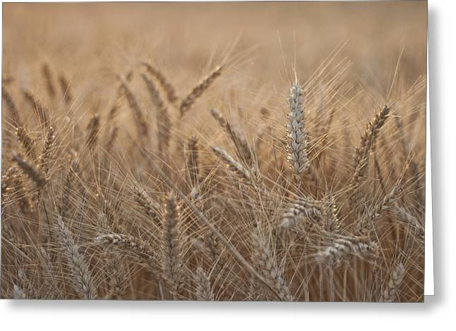 Consumerproduct Greeting Cards - Evening Wheat Greeting Card by Nomad Art And  Design