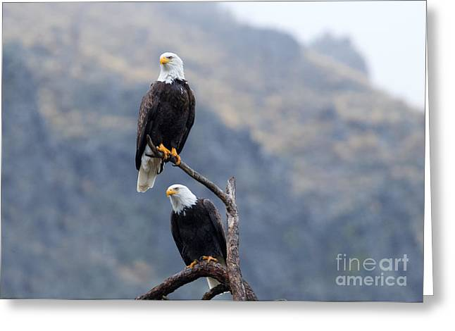 American Bald Eagle Greeting Cards - Ever Watchful Greeting Card by Mike Dawson
