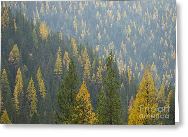 North Idaho Greeting Cards - Evergreen and Gold Greeting Card by Idaho Scenic Images Linda Lantzy