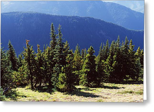 Olympic Mountains Greeting Cards - Evergreen Trees With Mountains Greeting Card by Panoramic Images