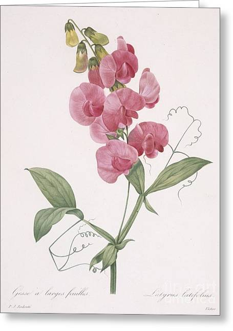 Pink Sweet Peas Greeting Cards - Everlasting Pea Greeting Card by Pierre Joseph Redoute