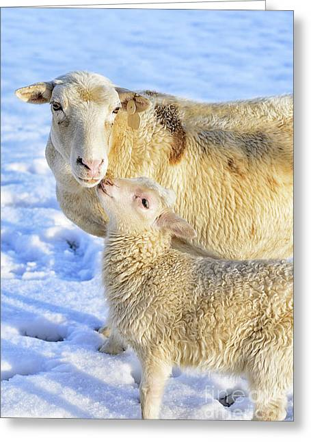 Anthropomorphism Greeting Cards - Ewe and Winter Lamb Greeting Card by Thomas R Fletcher
